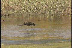 Plaquemines Ibis in marsh  Stock Footage