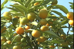 Plaquemines oranges getting ripe LA Stock Footage
