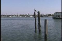 Plaquemines Pelican on post Venice LA Stock Footage