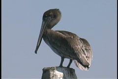 Plaquemines Pelican preens LA Stock Footage