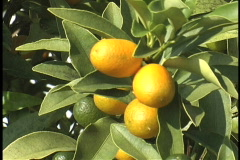 Plaquemines satsumas mandarin LA Stock Footage