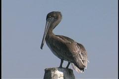 Plaquemines Young brown pelican LA Stock Footage