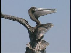 Plaquemines young pelican LA Stock Footage