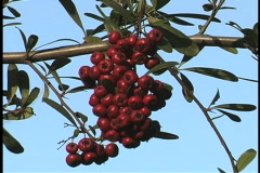Pyracantha berries LA Stock Footage