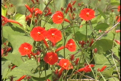 Red flowers on a vine in Louisiana Stock Footage