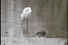 Snowy egret in the rain LA Stock Footage
