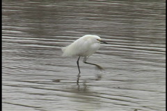 Snowy egret wading forward Stock Footage