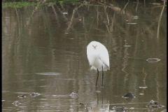 Snowy egret wading La Stock Footage