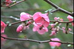Spring  flowering shrub LA Stock Footage