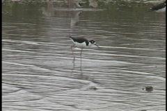 Stilts wading in a marsh La Stock Footage