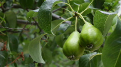 Green pears on branch (Full HD)  Stock Footage