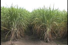 Sugar cane in field La Stock Footage