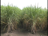 Stock Video Footage of Sugar cane in field La