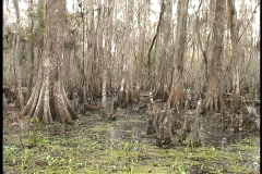 Swamp cypress early spring LA  Stock Footage