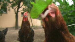Chicken picking for food Stock Footage
