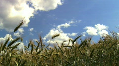 Hand in a Wheat Field, JVC GY-HM100E Stock Footage