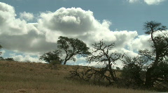 Building clouds over camel thorn trees Stock Footage