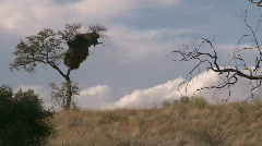 Pan to socialble weaver nest on Kalahari dune Stock Footage