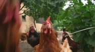 Stock Video Footage of Chicken picking for food