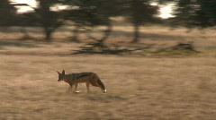 Backlit jackal hunting in Kalahari  Stock Footage