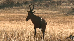 Backlit red hartebeest in Kalahari Stock Footage
