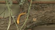 Cape cobra exits tree trunk Stock Footage