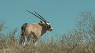 Oryx silhouetted on a dune in Kalahari desert Stock Footage