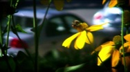 Stock Video Footage of bees fight on flowers HDF40-41,46
