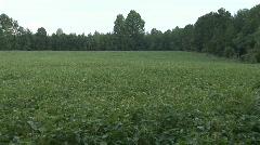 Soybean Field - stock footage