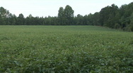 Stock Video Footage of Soybean Field
