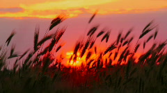 Sunset on the field - stock footage