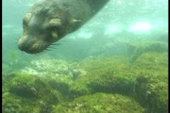 Sea lions underwater video Galapagos Stock Footage