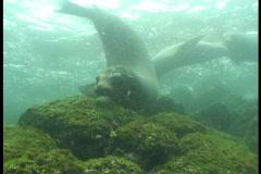Sea lions underwater video Galapagos - stock footage
