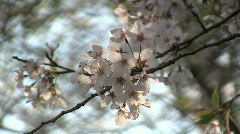 Japanese Cherry Blossoms Stock Footage
