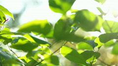 Fresh leaves Stock Footage