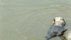Wild Sea Otter grooming Stock Footage