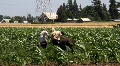 Migrant Farm Workers HD Footage