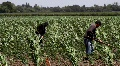 Workers In Corn Field HD Footage