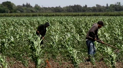 Workers In Corn Field Stock Footage
