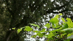 Ivy with an oak tree background Stock Footage