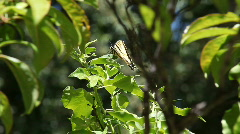 Swallowtail butterfly falls off leaf Stock Footage