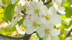 Apple Blossoms 01 Stock Footage