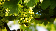 Stock Video Footage of Green Wine Grapes