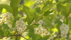 Choke Cherry blossoms 02 Stock Footage