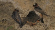 Stock Video Footage of A Cliff Swallow's Nest