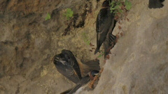 Cliff Swallows 2 Stock Footage