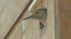 P01071 Northern Flicker in Bird House Stock Footage