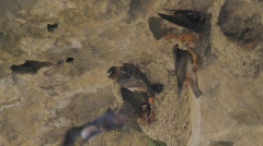 Cliff Swallows 1 Stock Footage