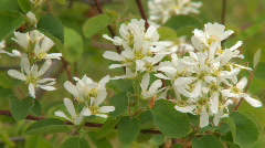 Saskatoon Blossoms 02 Stock Footage