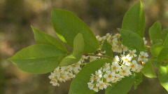 Choke Cherry blossoms 01 Stock Footage